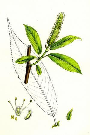 https://imgc.artprintimages.com/img/print/salix-cuspidata-mas-pointed-leaved-willow-male_u-l-pvexjn0.jpg?p=0