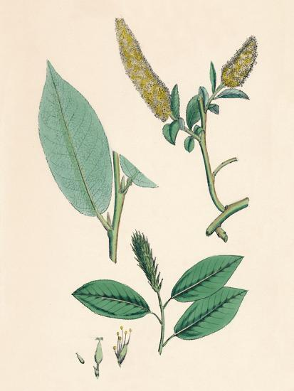 'Salix pentandra. Bay-leaved Willow', 19th Century-Unknown-Giclee Print