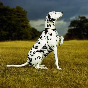 Dalmatian Sitting with Paw Up by Sally Anne Thompson