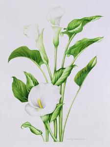Arum lily by Sally Crosthwaite