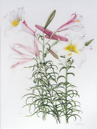 Lilium regale large group