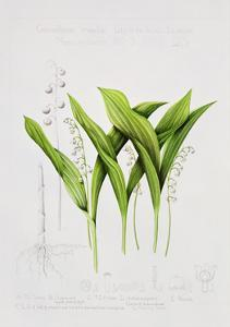 Lily of the valley by Sally Crosthwaite
