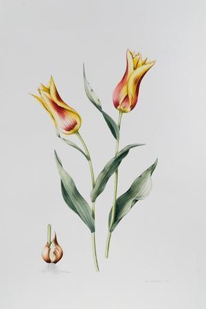 Tulip Mona Lisa