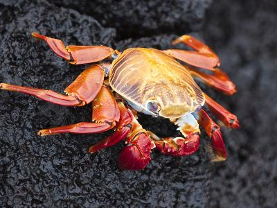Sally Lightfoot Crab (Grapsus Grapsus), Cormorant Point, Isla Santa Maria, Galapagos Islands-Michael DeFreitas-Photographic Print