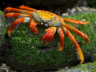 https://imgc.artprintimages.com/img/print/sally-lightfoot-crab-grapsus-grapsus-foraging-on-volcanic-rock_u-l-p8ckcj0.jpg?p=0