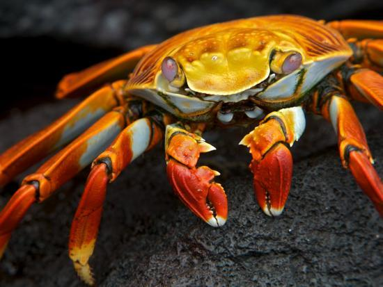 Sally Lightfoot Crab, Grapsus Grapsus, Foraging on Volcanic Rock-Tim Laman-Photographic Print