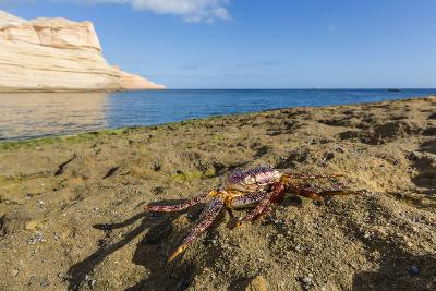 Sally Lightfoot Crab (Grapsus Grapsus), Moulted Exoskeleton at Punta Colorado, Baja California Sur-Michael Nolan-Photographic Print