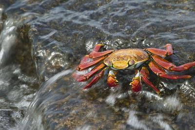 Sally Lightfoot Crab in Flowing Water-DLILLC-Photographic Print