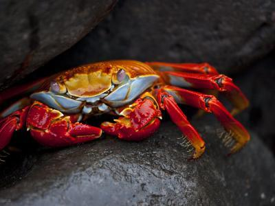 Sally Lightfoot Crab on a Rock in the Galapagos Islands-Michael Melford-Photographic Print
