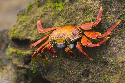 Sally Lightfoot Crab on a Rock-DLILLC-Photographic Print