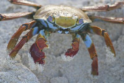 Sally Lightfoot Crab-DLILLC-Photographic Print