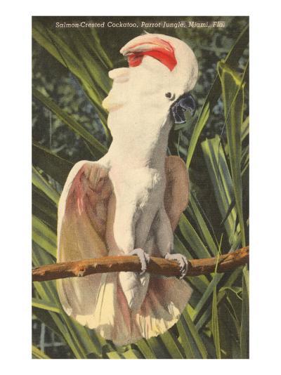 Salmon-Crested Cockatoo, Florida--Art Print