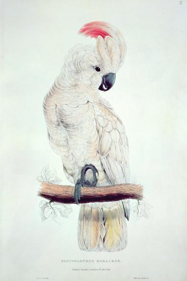 Salmon-Crested Cockatoo-Edward Lear-Giclee Print