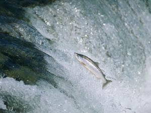 Salmon Make a Difficult Trip up River