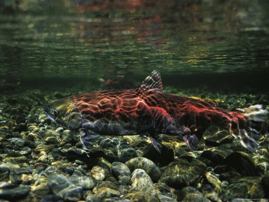 Salmon Underwater, Clayoquot Sound, Vancouver Island-Joel Sartore-Photographic Print