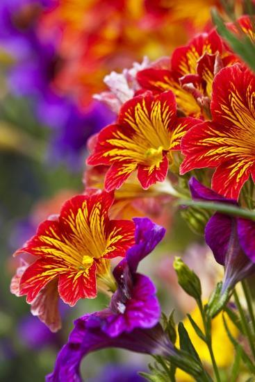 Salpiglossis Flowers in Full Bloom-Terry Eggers-Photographic Print