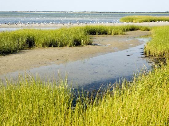 Salt Marsh Habitat with Flock of Birds Taking Off, Cape Cod, Massachusetts-Tim Laman-Photographic Print