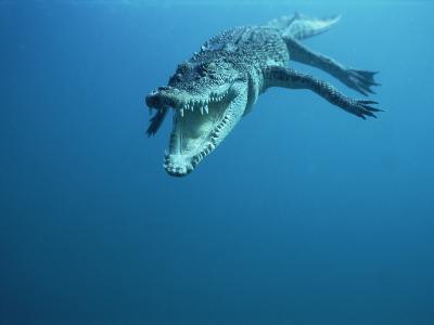 Saltwater Crocodile or Estuarine Crocodile (Crocodylus Porosus) Swimming, Oro Bay, Papua New Guinea-Mike Parry/Minden Pictures-Photographic Print