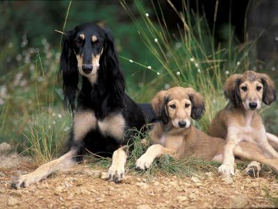 Saluki with Two Puppies-Adriano Bacchella-Photographic Print