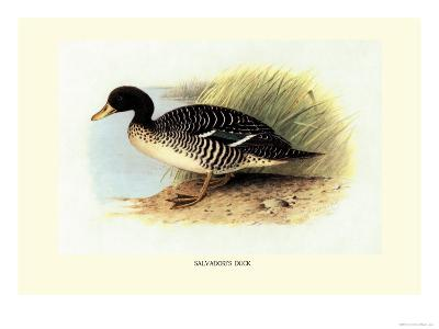 Salvadori's Duck-Henrick Gronvold-Art Print