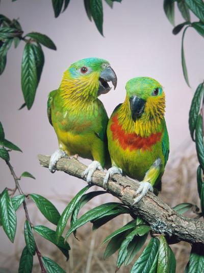 Salvadori's Fig Parrots, Pair (Psittaculirostris Salvadorii)-Reinhard-Photographic Print