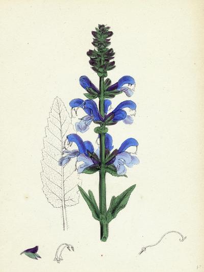 Salvia Pratensis Meadow Clary--Giclee Print