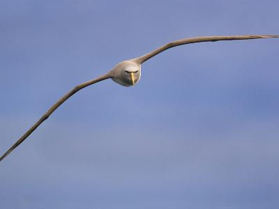 Salvin's Albatross in Flight, Thalassarche Salvini, New Zealand-Frans Lanting-Photographic Print
