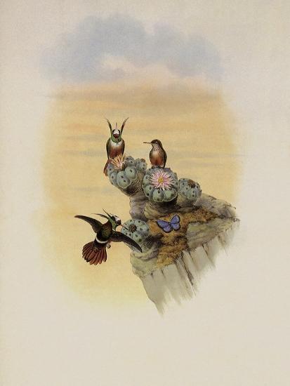 Salvin's Coquette, Lophornis Adorabilis-John Gould-Giclee Print
