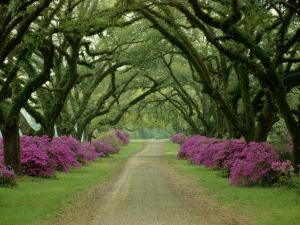 A Beautiful Driveway Lined with Trees and Purple Flowering Bushes by Sam Abell