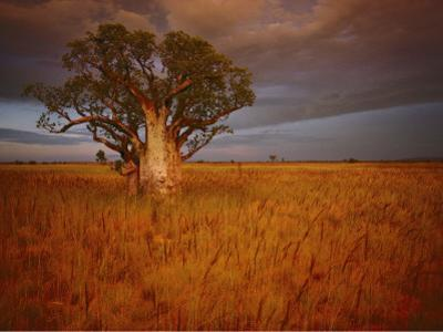 A Boab Tree Stands Solitary in the Bush Near Wyndham