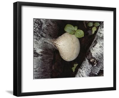 A Bulbous Birch Polypore Fungus