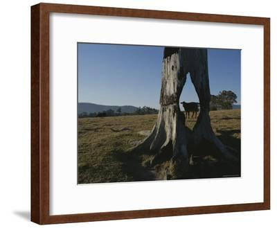 A Cow is Framed by a Tree Trunk with a Hole Burned Through It