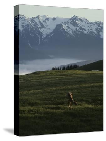 A Deer Grazes in an Alpine Meadow in Olympic National Park