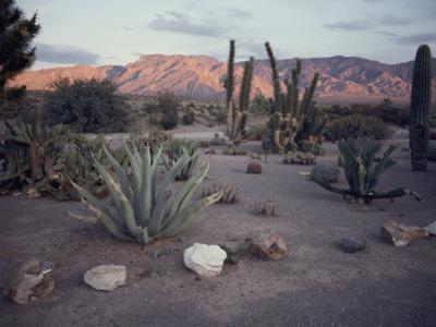 A Desert Cactus Garden in Nevada by Sam Abell