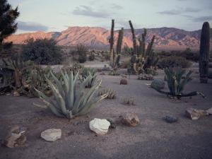 A Desert Cactus Garden in Nevada by Sam Abell
