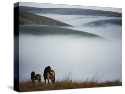 A Pair of Exmoor Ponies on a Fog-Shrouded Moor