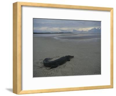 A Saltwater Crocodile Seeks Warmth on a Sandbar Near Shelburne Bay