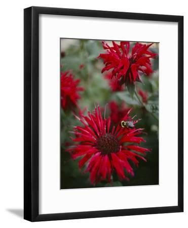 Bee Balm Plants, Whose Flowers Draw Hummingbirds and Bees