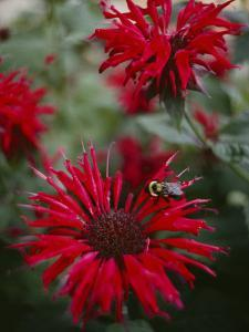 Bee Balm Plants, Whose Flowers Draw Hummingbirds and Bees by Sam Abell