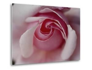 Close-up of a Rose by Sam Abell