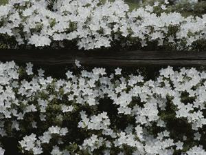 Flowering Dogwood by Sam Abell