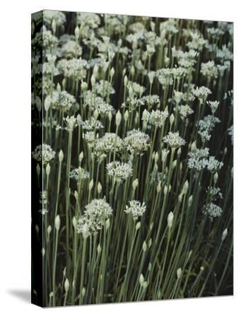 Garlic Chives, Whose Growth is Encouraged by Nipping the Flowers