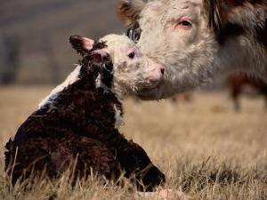 Hereford Cow with Calf by Sam Abell
