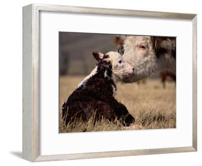 Hereford Cow with Calf