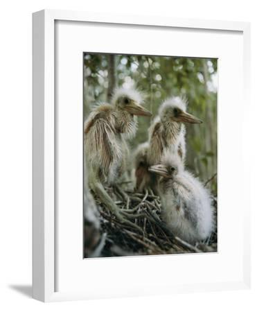 Juvenile Blue Herons in Their Nest