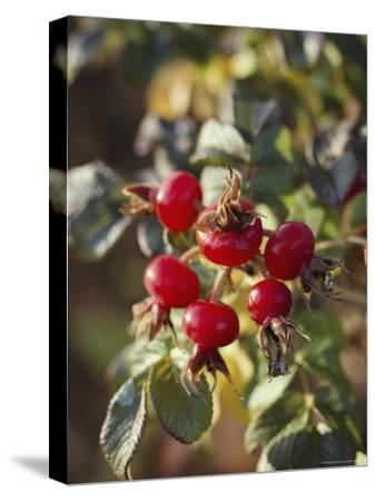 Ramanus Rose Hips are a Source of Vitamin C
