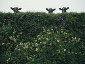 Three Cows Peer over a Hedge Garlanded with Wildflowers by Sam Abell
