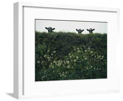 Three Cows Peer over a Hedge Garlanded with Wildflowers