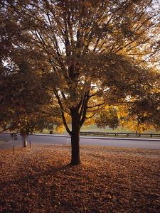 Tree in Autumn Foliage on the Grounds of Dartmouth College, Hanover, New Hampshire by Sam Abell