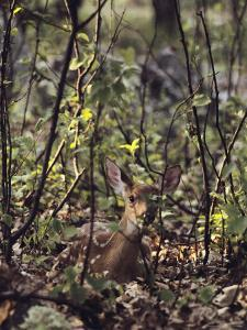 Whitetail Fawn Hides from Predators, Shenandoah National Park, Virginia by Sam Abell